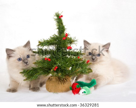 2 Ragdoll kittens with christmas tree and toys, on white fake snow fabric background