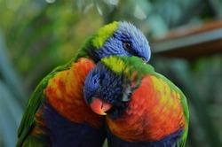 Rainbow Lorikeet birds couple