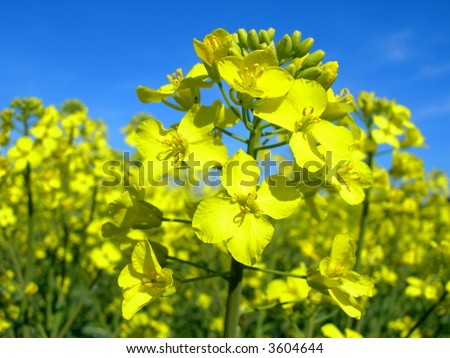 Rapeseed plant and rapeseed field - plant detail