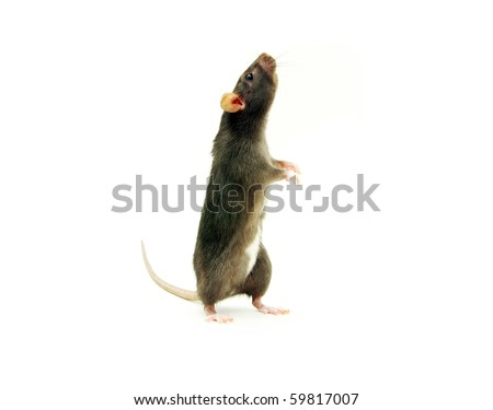 rat - stock photo