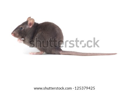 rat close-up isolated on white background - stock photo