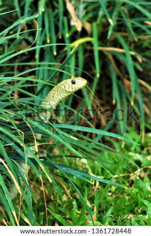 'Rat Snake' This picture showcases one of the finest reptile portrait.The picture was taken when this beautiful reptile comes out from its hibernation and creeping through lush green grass with joy .