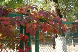 red autumn leaves on the fence