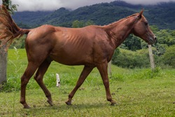 Red, beautiful Quarter Horse grazing in the green field of the farm.