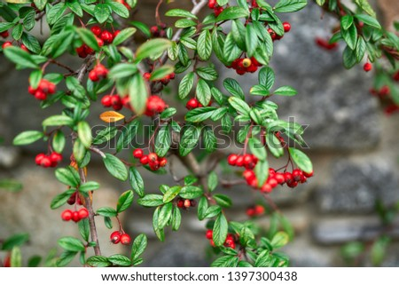 red berries red berries red berries #1397300438