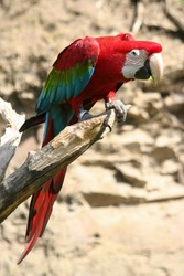 red-blue macaw parrot on a dry branch in nature with green blurred background