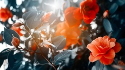 Red camellia japonica flower growing in green leaves in spring garden. Wallpaper concept, print Gardening idea. Selective focus. Warm yellow effect shine. Trendy color. Bloom love concept