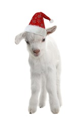 red cap of Santa on a goat kid  isolated on white