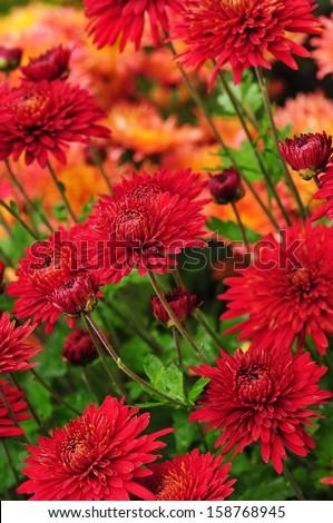 Red chrysanthemum flowers background