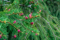 red cones on fir. Small red spruce cones macro. Coniferous tree