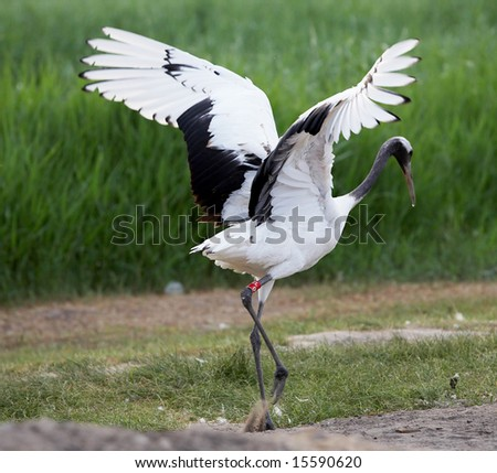 red-crowned crane spread wings - stock photo