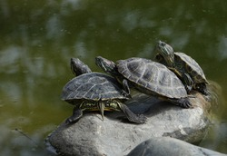 red-eared turtles sit on a stone in a swamp