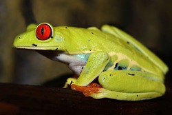 Red-eyed tree frog in the Costa Rican rain forest.