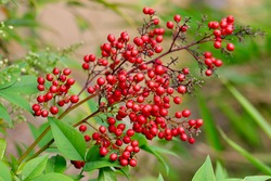 Red fruits of sacred bamboo.Nandina domestica commonly known as nandina, heavenly bamboo or sacred bamboo, is a species of flowering plant in the family Berberidaceae.