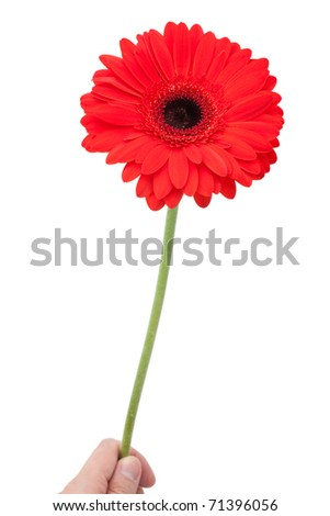 red Gerbera Daisy close up