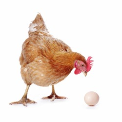 red hen with an egg on white isolated background
