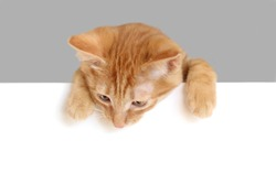 red kitten looking down over empty white banner. isolated on white background. Space for text