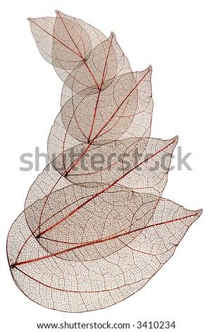 red leaves macro isolated on white