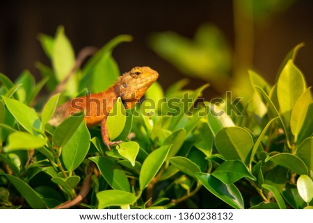 Stock Photo  Red orange chameleon on the tree fence