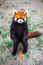 Red Panda stands on its hind legs.