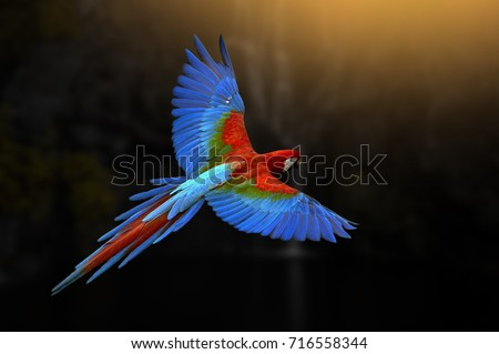 \nRed parrot in flight. A red-headed parrot flies in a dark green vegetation. Ara and tropical forests. Scenes of wild animals of tropical nature. Red bird in the forest. Flying parrot.