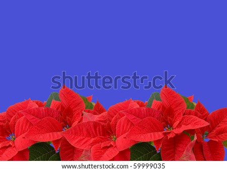 Red poinsettia isolated on a blue background