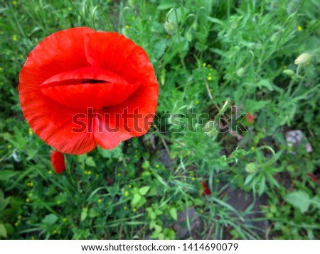 red poppies on the background of green grass