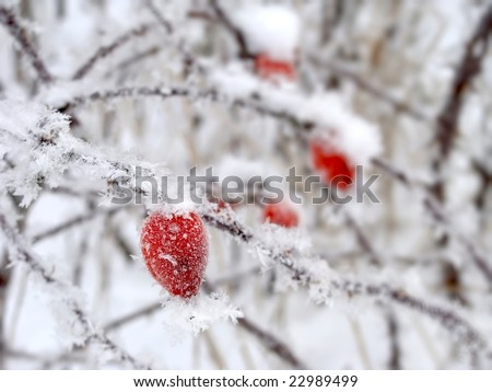 Red rose-hip in winter under snow