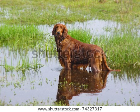 Red setter dog on frond of green grass and water.