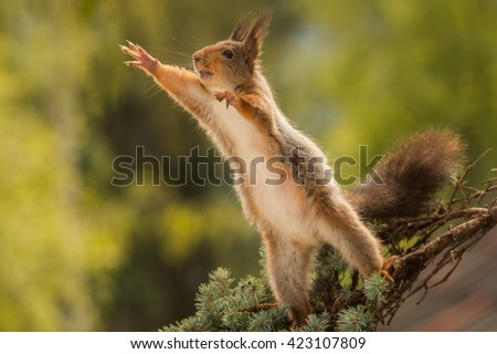 red squirrel standing on branch reaching out #423107809