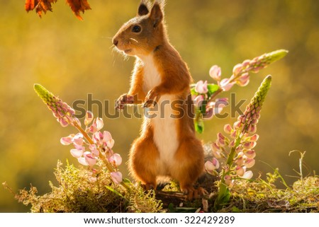 red squirrel standing with lupine flowers #322429289