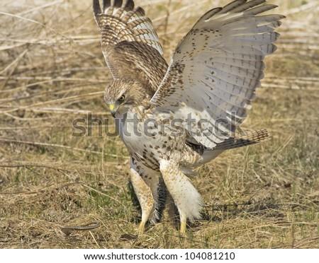 Red-tailed Hawk, juvenile, attacking a snake . Latin name-Buteo jamaicensis.