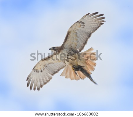 Red-tailed Hawk with catch rushing to nest to feed youngsters . Latin name-Buteo jamaicensis.
