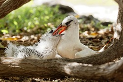 Red-tailed tropic bird feeds its chick