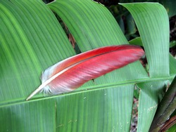 Red wing feathers from the red-and-green macaw (Ara chloropterus), also known as the green-winged macaw, is a large, mostly-red macaw of the genus Ara. Amazon rainforest, Brazil