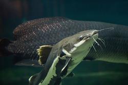 Redtail catfish (Phractocephalus hemioliopterus). Freshwater fish. Fish under water.