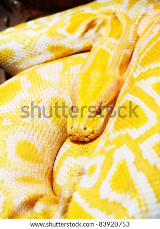Resting Yellow Snake in a zoo