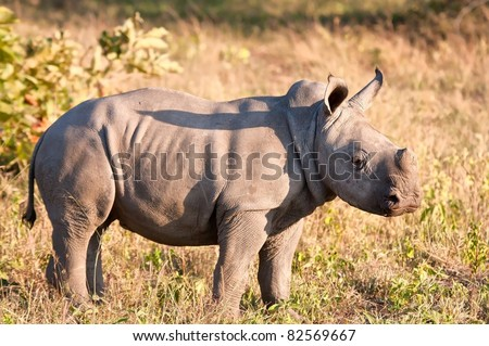 Rhino  calf in nature green grass alone looking