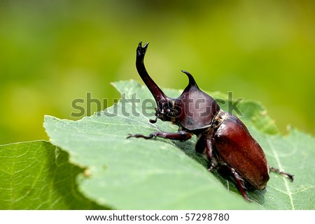 Rhinoceros beetle (Allomyrina dithotomus) with nice background green