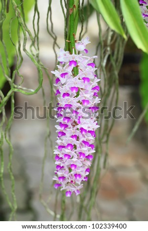 """Rhynchostylis retusa"" orchid blooming in Thailand."