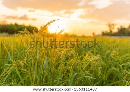 rice field in Beautiful sunrise ストックフォト ©