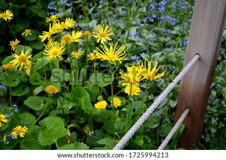 Richly overgrown yellow tufts covering many flowerbeds near houses, where against the background of a flowerbed fence made of ropes separates the flowerbed from the edge of the lawn