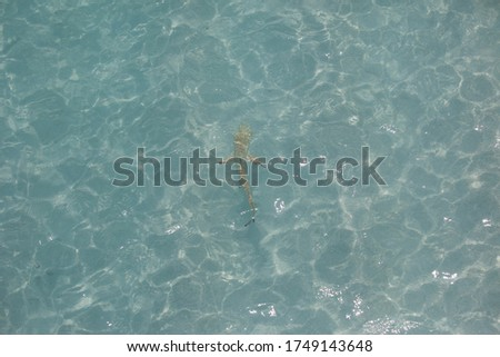 Riff baby grey shark in maldivian lagoon seen from above through water Stock foto ©