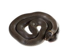 Ringneck Snake  (Diadophis punctatus Arnyi) isolated on white background