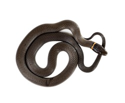 Ringneck Snake  (Diadophis punctatus Arnyi) isolated on white background. top view