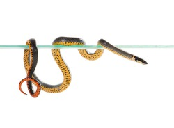 Ringneck Snake (Diadophis punctatus) isolated on white background