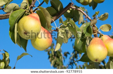 ripe pears on tree branch