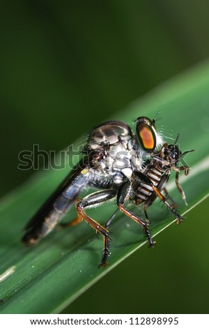 Robber fly attach a little grasshopper for food