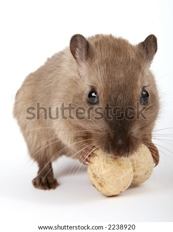rodent by a yellow peanut, isolated on white, macro close up