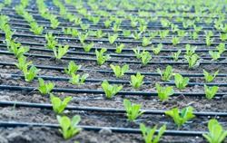 Romain seedlings planted under drip irrigation in the field. Agriculture concept